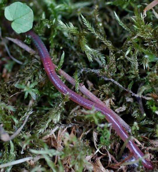 Roter Regenwurm, Lumbricus rubéllus
